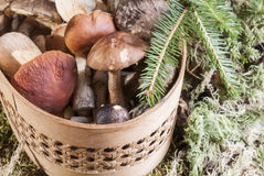 Mushrooms in the basket standing on the moss in the forest Royalty Free Stock Images