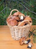 Mushrooms in the basket under pine tree Royalty Free Stock Photography