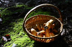 Mushrooms basket in the woods Royalty Free Stock Image