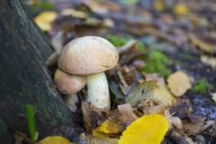 Mushrooms. The best mushrooms - cep Royalty Free Stock Images