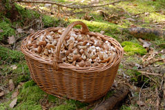 Mushrooms in big basket Stock Image