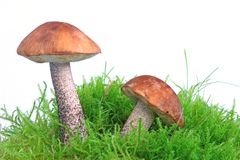 Mushrooms (Birch bolete) Royalty Free Stock Image