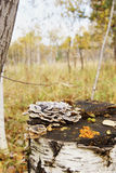 Mushrooms on a birch stump Stock Image