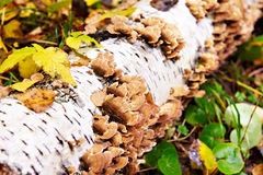 Mushrooms on birch tree in autumn forest Royalty Free Stock Photos