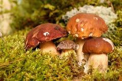 Mushrooms Bolete, fungus in the wild , Boletus Stock Photo