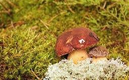 Mushrooms Bolete, fungus in the wild , Boletus Stock Photos