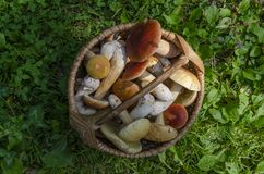 Mushrooms boletus in the basket on the green grass on top