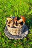 Mushrooms boletus edulis in a basket Stock Image