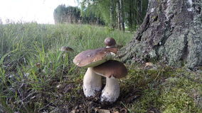 Mushrooms Boletus edulis with burgundy snail by birch tree, time lapse 4K. Edible mushrooms Boletus edulis growing by birch tree with helix pomatia on top on stock video footage