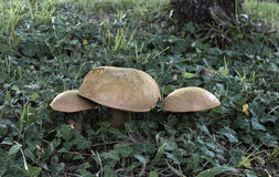 Mushrooms boletus edulis  Stock Photo