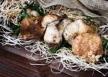 Mushrooms Boletus edulis Stock Image