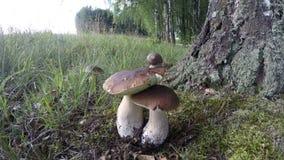 Mushrooms Boletus Edulis With Burgundy Snail By Birch Tree, Time Lapse 4K Royalty Free Stock Photo