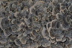 Mushrooms (bracket-fungus) 1 Royalty Free Stock Photography