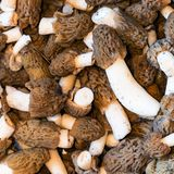 Mushrooms with brown wrinkled hats royalty free stock image