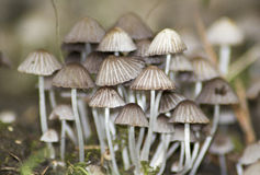 White Wild Mushrooms. A bunch of small wild mushrooms Stock Image