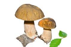Mushrooms (Cape) 7 Stock Images