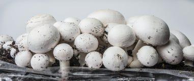 Mushrooms - champignons Stock Image