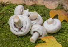 Mushrooms - champignons Royalty Free Stock Images