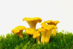 Mushrooms of the chanterelle mushroom Royalty Free Stock Image