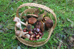 Mushrooms and chestnuts in a wicker basket. Some mushrooms and chestnuts in a wicker basket Royalty Free Stock Photos