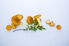 Mushrooms close up. Chanterelles on white background close up royalty free stock photo