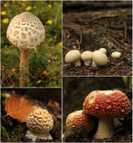 Mushrooms collage. Collage with wild mushrooms in the woods Stock Images