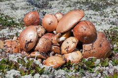 Mushrooms collected in tundra Stock Images