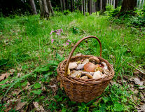 Mushrooms collecting Royalty Free Stock Images