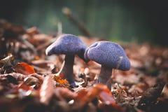 Mushrooms Cortinarius violaceus Selective Focus.  Royalty Free Stock Photo