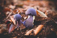 Mushrooms Cortinarius violaceus Selective Focus Stock Image