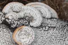 Mushrooms covered with hoarfrost Stock Images