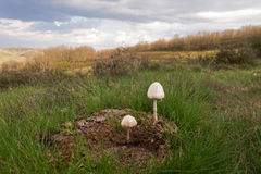 Mushrooms on Cow Dung Royalty Free Stock Photos