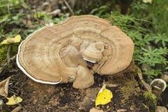 Mushrooms in the crude wood Stock Photos