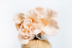 Mushrooms cultivation Stock Image