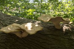 Mushrooms on the dead tree Stock Image
