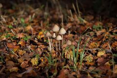 Mushrooms in dried leaves Stock Photos