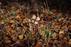 Mushrooms in dried leaves