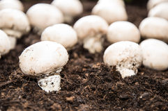 Mushrooms on earth Royalty Free Stock Photo