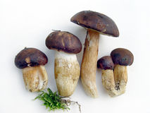 Mushrooms family. Wild mushrooms family with moss Royalty Free Stock Images