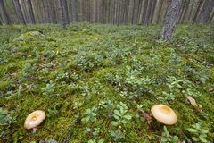 Mushrooms in the finnish forest. Nature background. Fall season Royalty Free Stock Image
