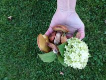Mushrooms. And flower in human hand Royalty Free Stock Photography