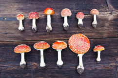 Mushrooms fly agaric group on on wooden background Royalty Free Stock Image