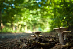 Mushrooms on footpath in fulllight forest Stock Image