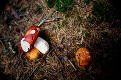 Mushrooms forest. Fairy mushrooms in a summer day forest Stock Image