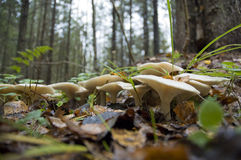 Mushrooms in forest Stock Photography