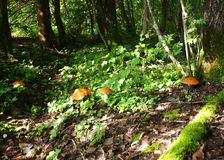 Mushrooms in forest. A lot of edible mushrooms in forest Royalty Free Stock Photos