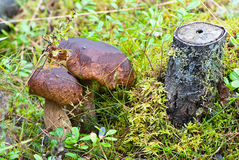 Mushrooms in the forest. Royalty Free Stock Photography