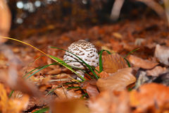 Mushrooms in the forest. Fall mushrooms in the forest Stock Photography