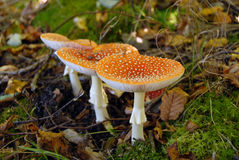 Mushrooms in forest Royalty Free Stock Image