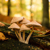 Mushrooms in forest autumn Stock Images